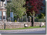 Sheep at Glendale House